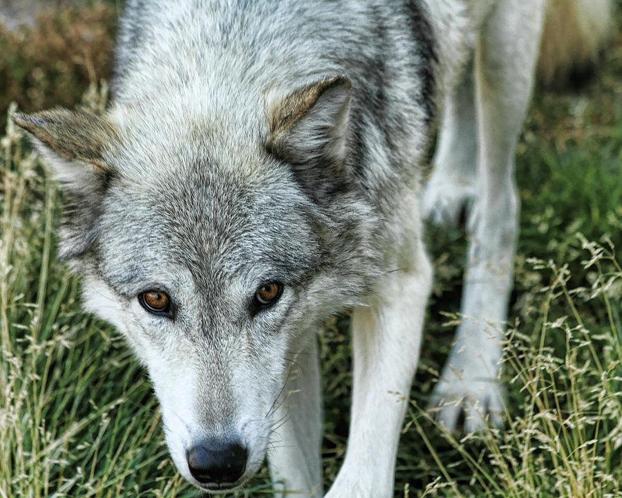 Wolf Photograph - Ominous Stare by Gene Praag