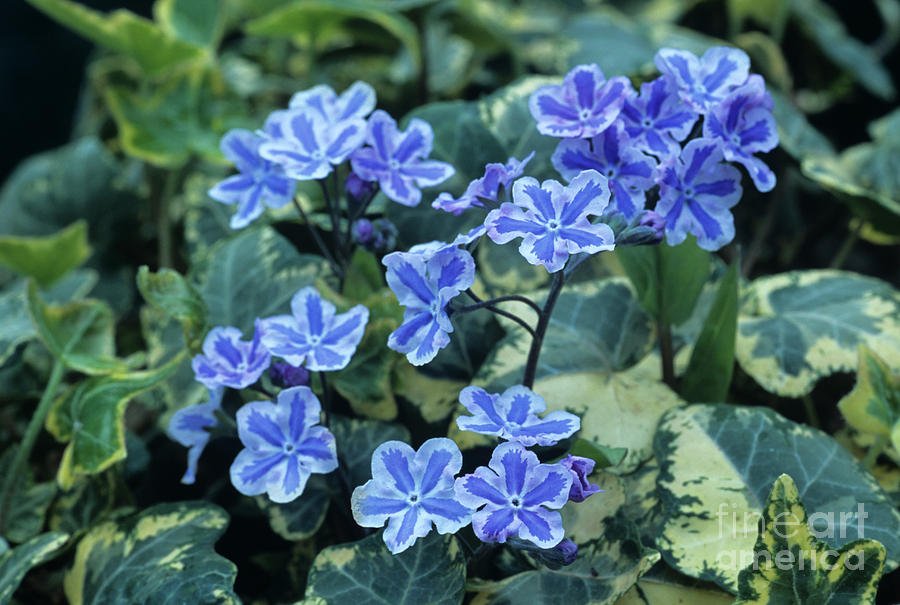 Golden Child Photograph - Omphalodes starry Eyes Flowers by Archie Young