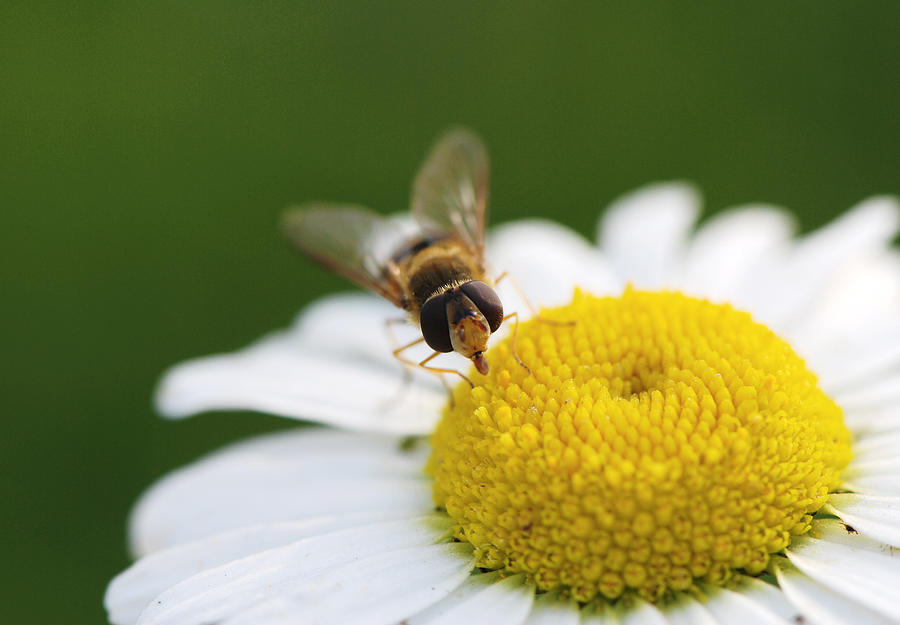 Bee Photograph - On A Daisy by Laura Melis