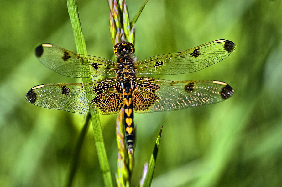 Calico Pennant Photograph - On Delicate Wings by Cheryl Cencich