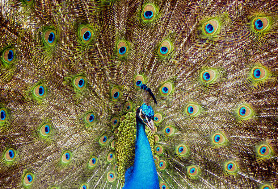 Peacock Photograph - On Display by Sandi OReilly