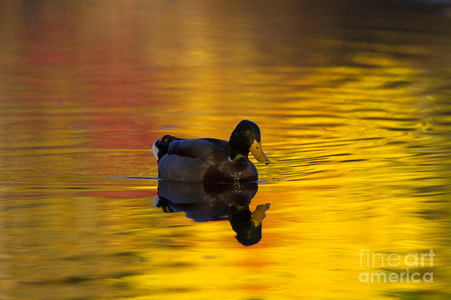 Mallard Photograph - On Golden Waters by Mike  Dawson