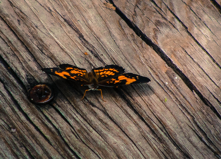 Butterfly Photograph - On The Boardwalk I by Stacy Michelle Smith