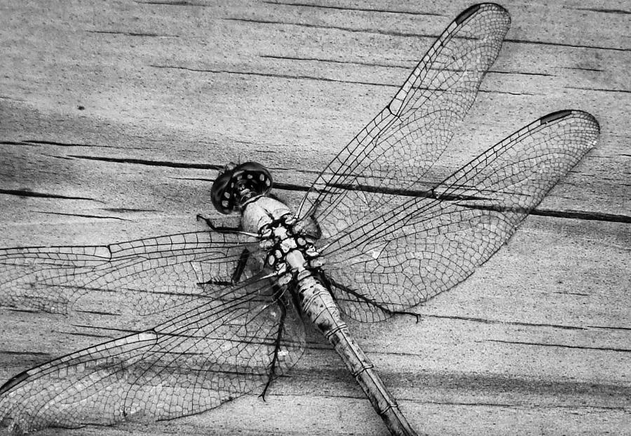 Dragonfly Photograph - On The Boardwalk IIi by Stacy Michelle Smith