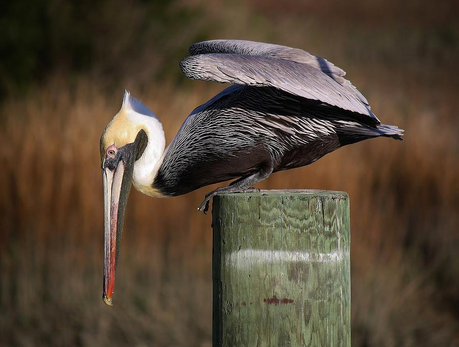 Pelican Photograph - On The Edge by Paulette Thomas