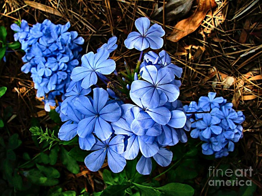 Blue Flowers Photograph - On The Forest Floor by Julie Dant