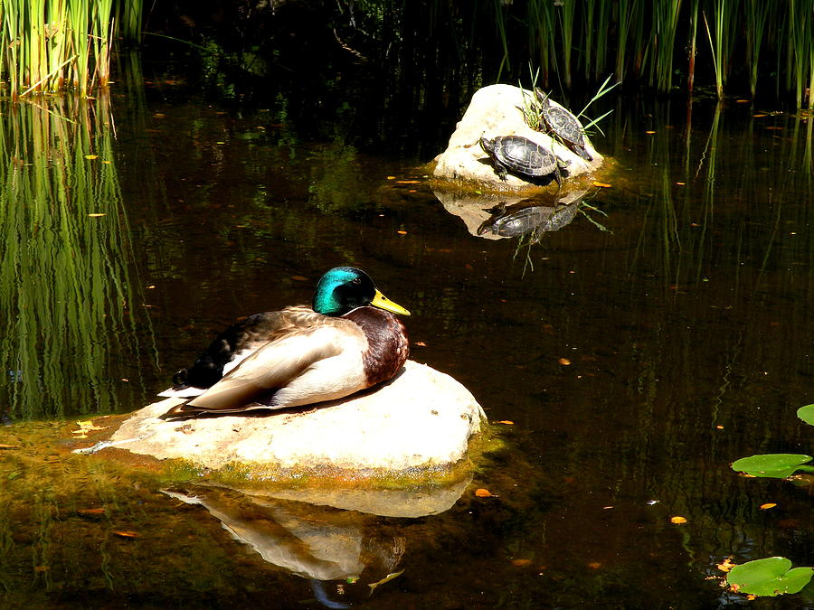 Duck Photograph - On The Rocks by Andrea Cullinane