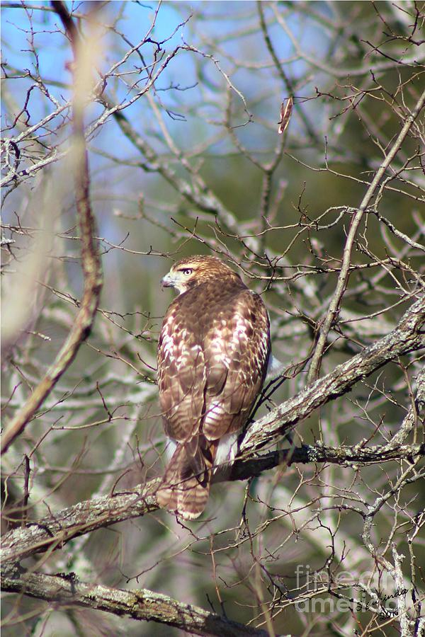 Hawk Photograph - On The Watch by Laurinda Bowling