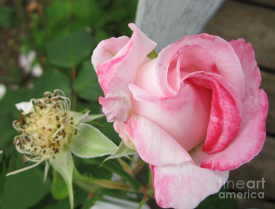 Rose Photograph - One Arriving And One Leaving by Sandra Maddox