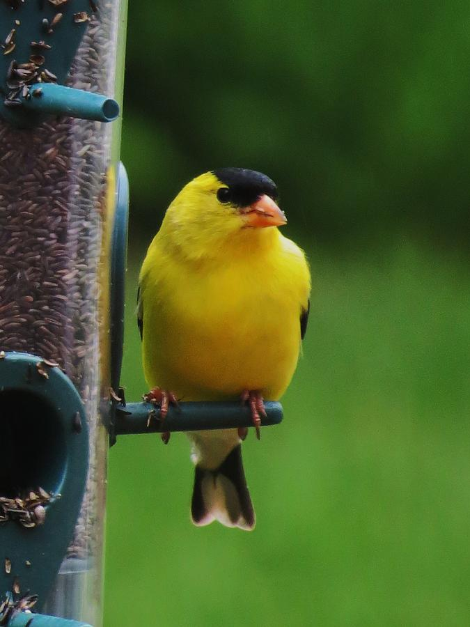 Finches Photograph - One Finch by Vijay Sharon Govender