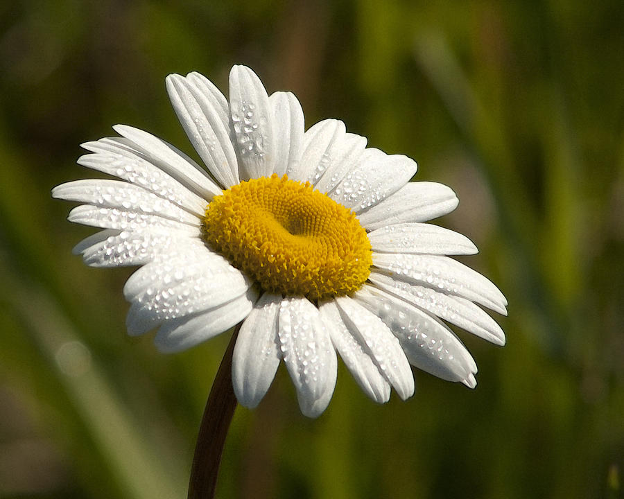 One Fine Daisy Leucanthemum Vulgare Photograph By Kathy