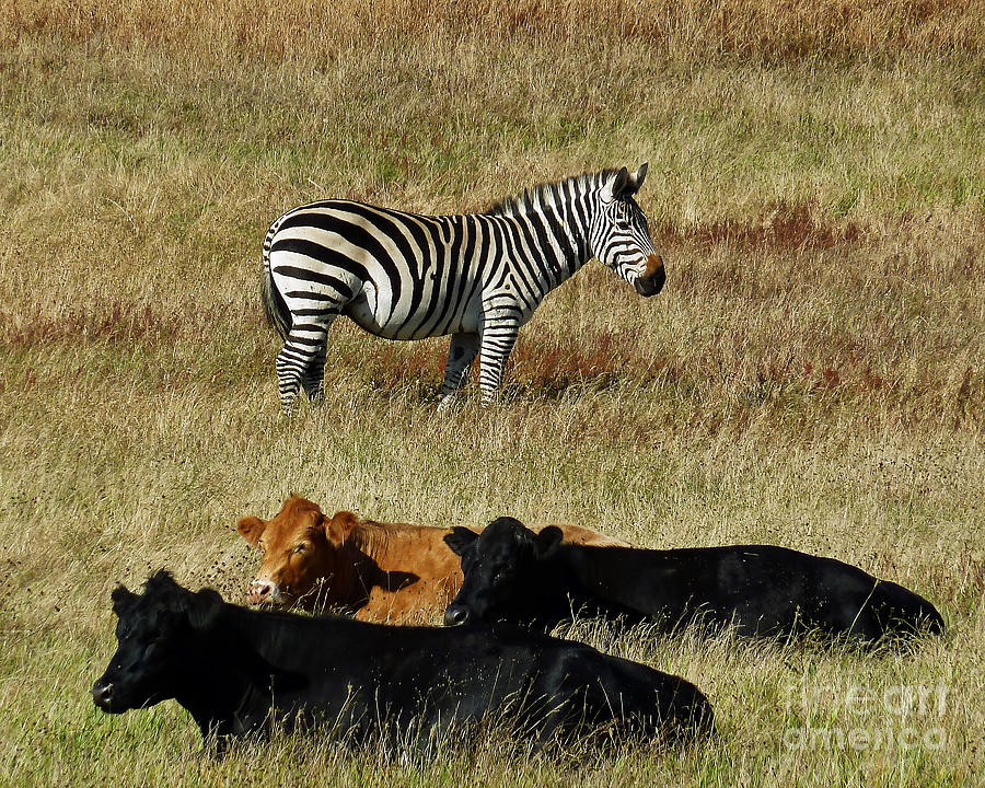 Zebra Photograph - One Is Not Like The Others by Methune Hively