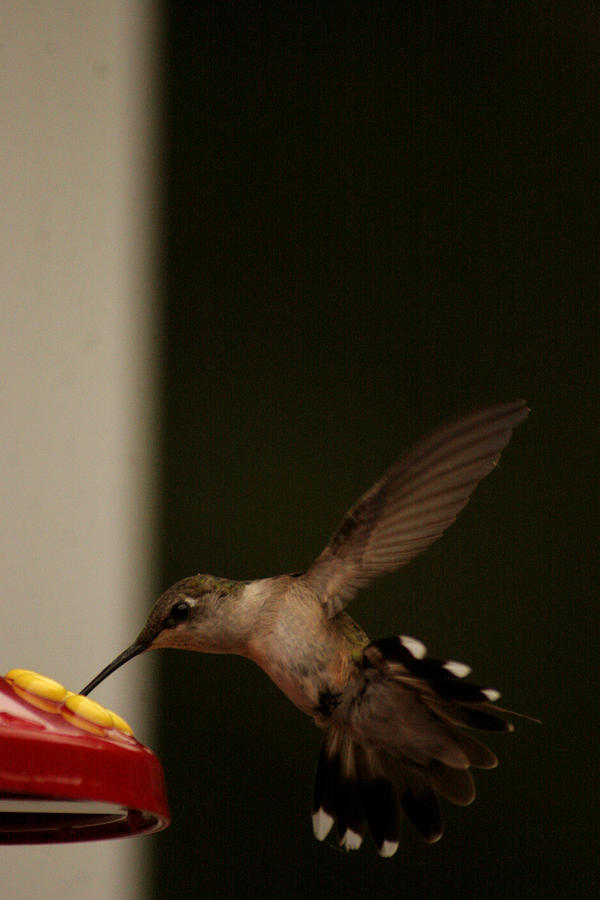Humming Bird Photograph - One Last Stop Before I Go by Artist Orange