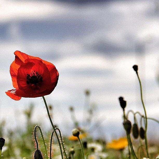 Love Photograph - One Of The Poppy Pics For ❤wifey by Carl Milner