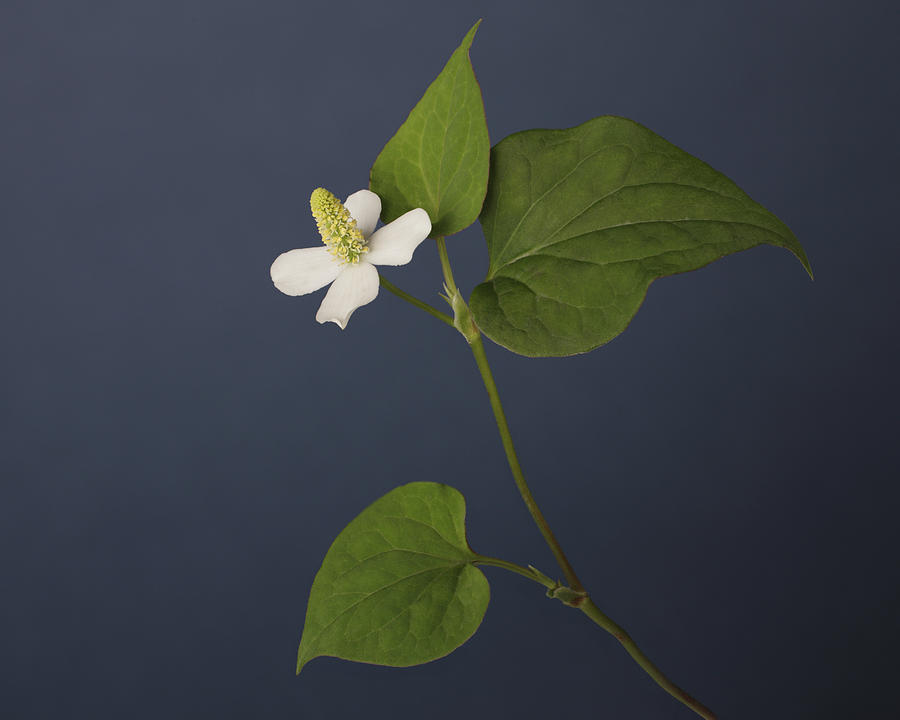 One white flower four petals three leaves photograph by at white horizontal photograph one white flower four petals three leaves by at white mightylinksfo