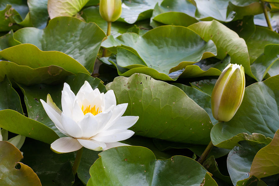 Asian Photograph - Open And Closed Water Lily by Semmick Photo