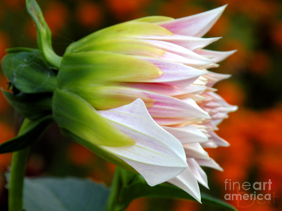 Dahlia Flower Photograph - Open For Autumn by Christine Belt