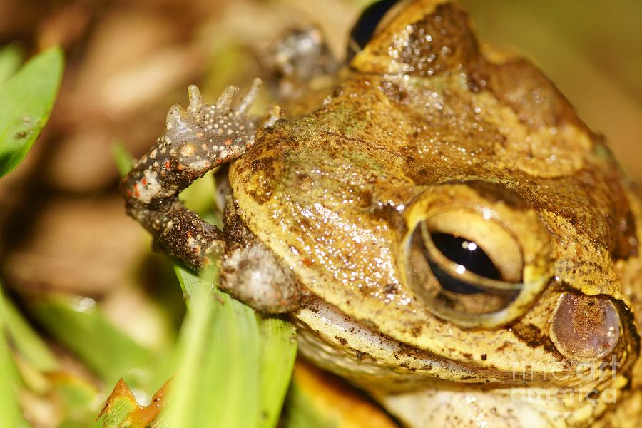 Frog Photograph - Open Mouth - Insert Foot by Lynda Dawson-Youngclaus