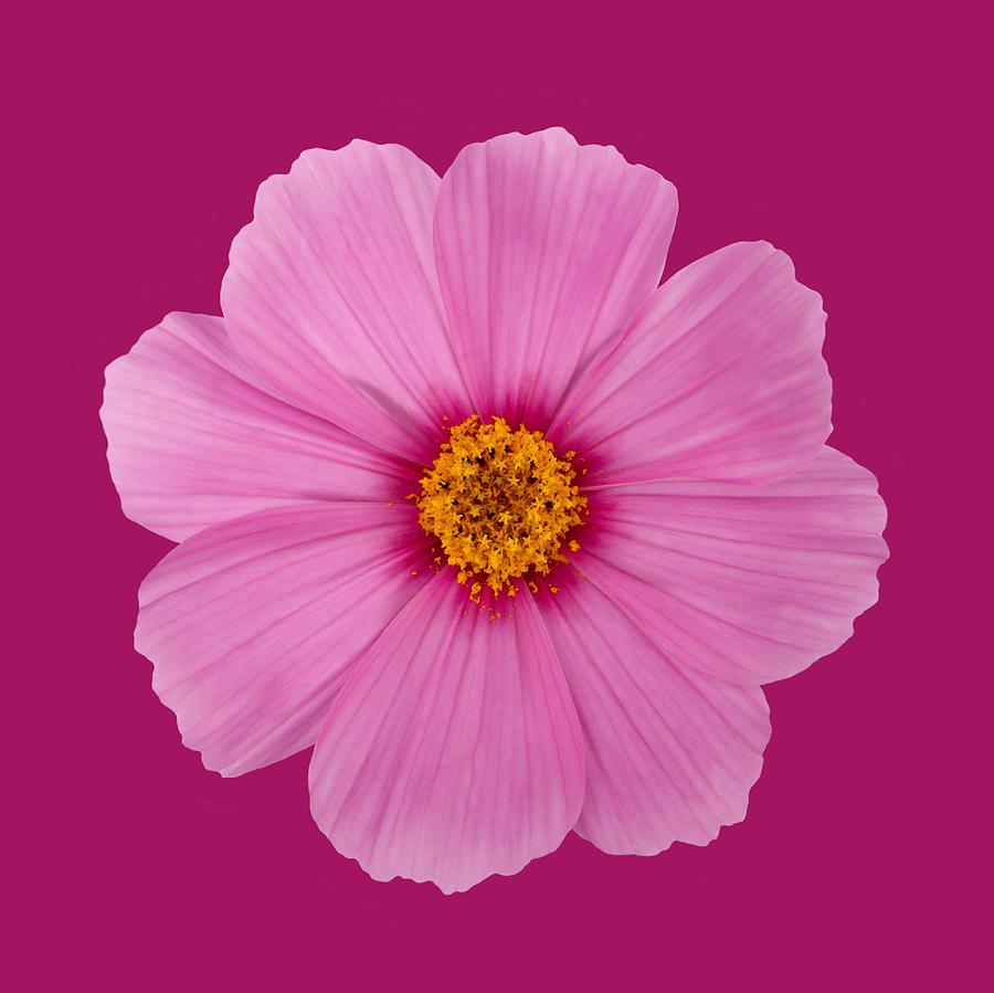Open pink cosmos flower on a dark pink background photograph by horizontal photograph open pink cosmos flower on a dark pink background by rosemary calvert mightylinksfo