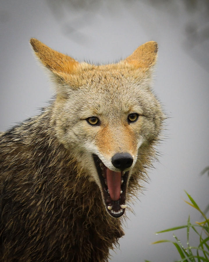 Coyote Photograph - Open Wide by Steve McKinzie