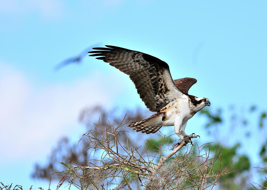 Osprey Photograph - Opsrey Spreading Its Wings by Bill Dodsworth