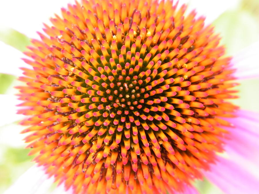 Coneflowers Photograph - Optical Illusion Within Coneflower Center by Mary Sedivy