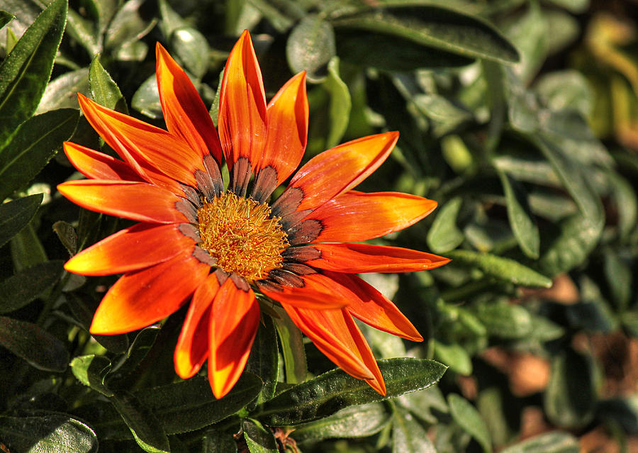 Orange african daisy photograph by sarah broadmeadow thomas for Olive garden blue springs missouri