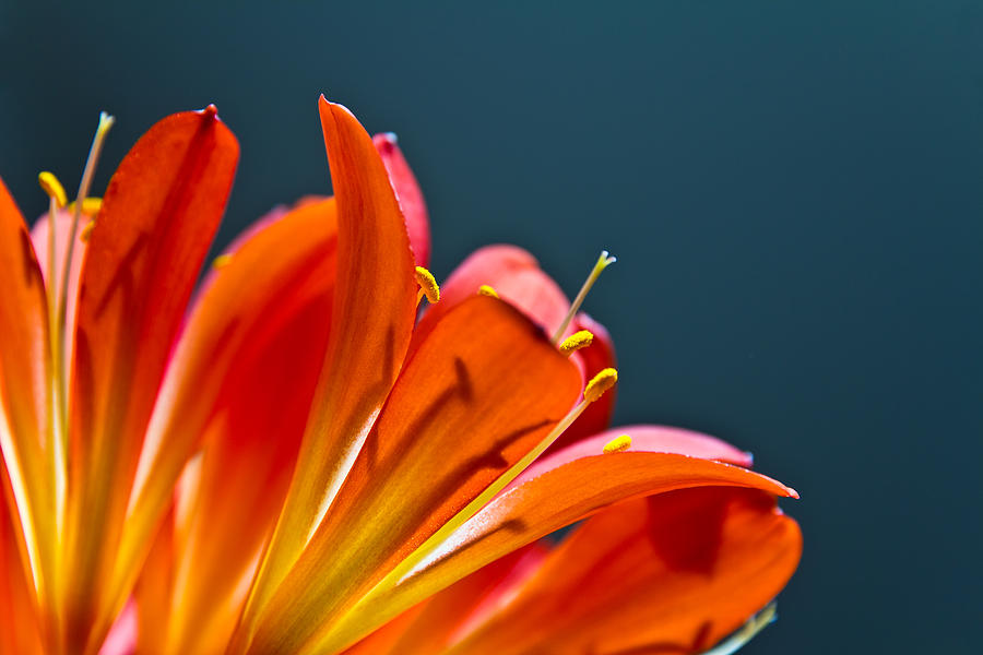 Flower Photograph - Orange And Blue by Justin Albrecht