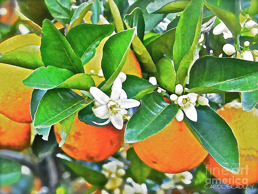 Digital Photograph - Orange Blossom Special by Carol  Bradley