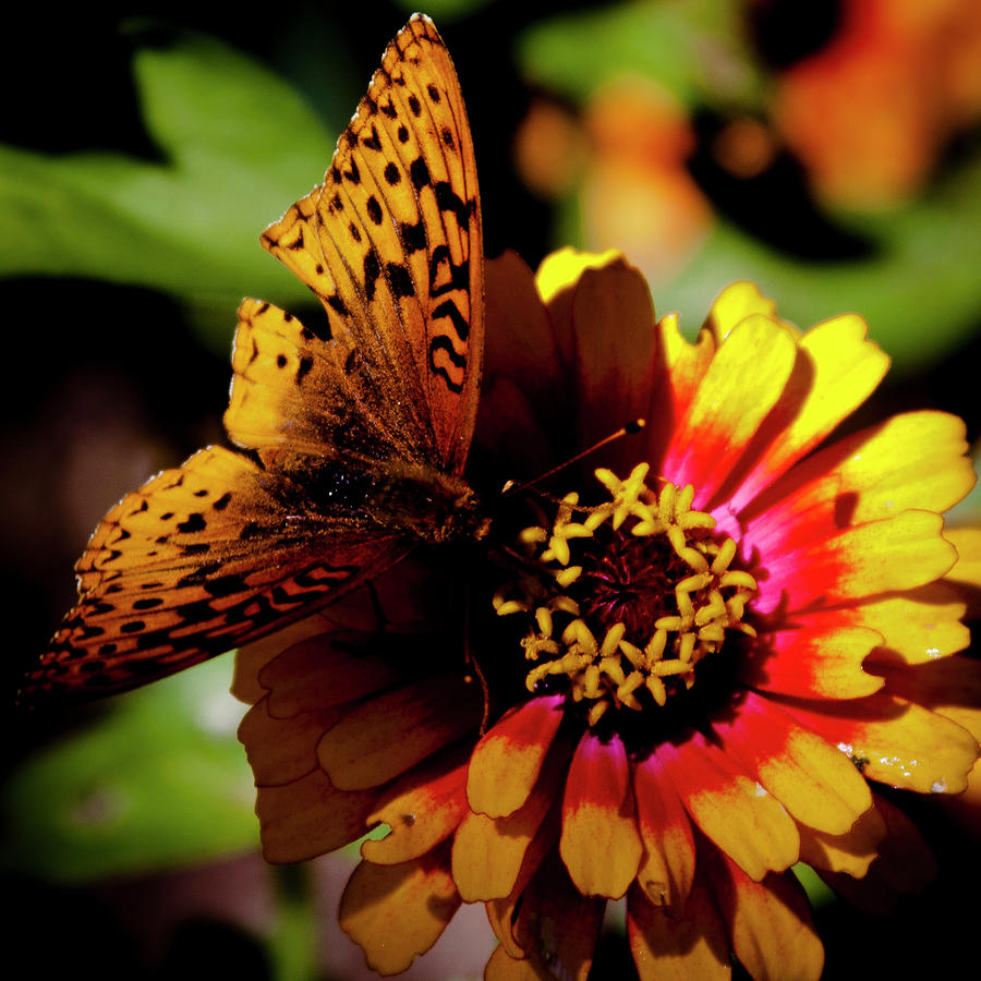 Daisy Photograph - Orange Butterfly by David Patterson