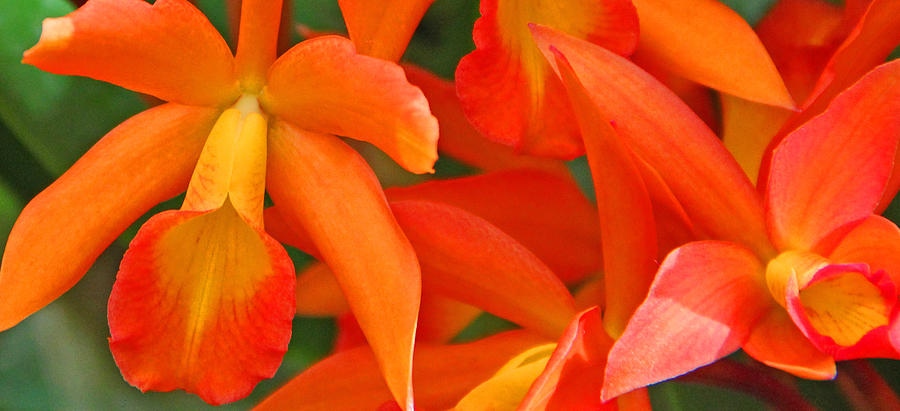 Becky Photograph - Orange Cattleya Orchid by Becky Lodes