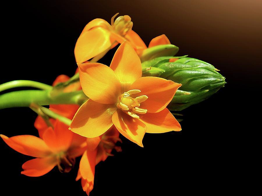 Horizontal Photograph - Orange Chincherinchee by Gitpix