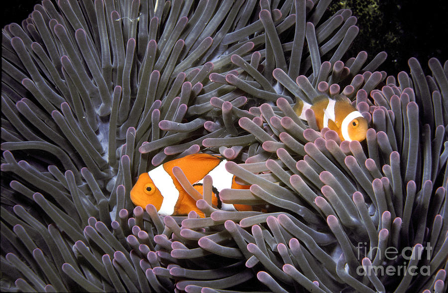 Anemone Fish Photograph - Orange Clownfish In An Anemone by Greg Dimijian