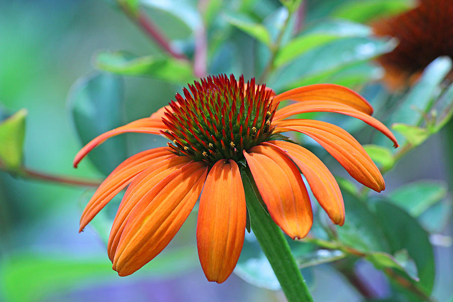 Becky Photograph - Orange Coneflower by Becky Lodes