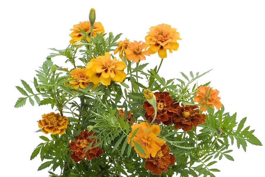 Marigold Photograph - Orange  French Marigold isolated by Aleksandr Volkov