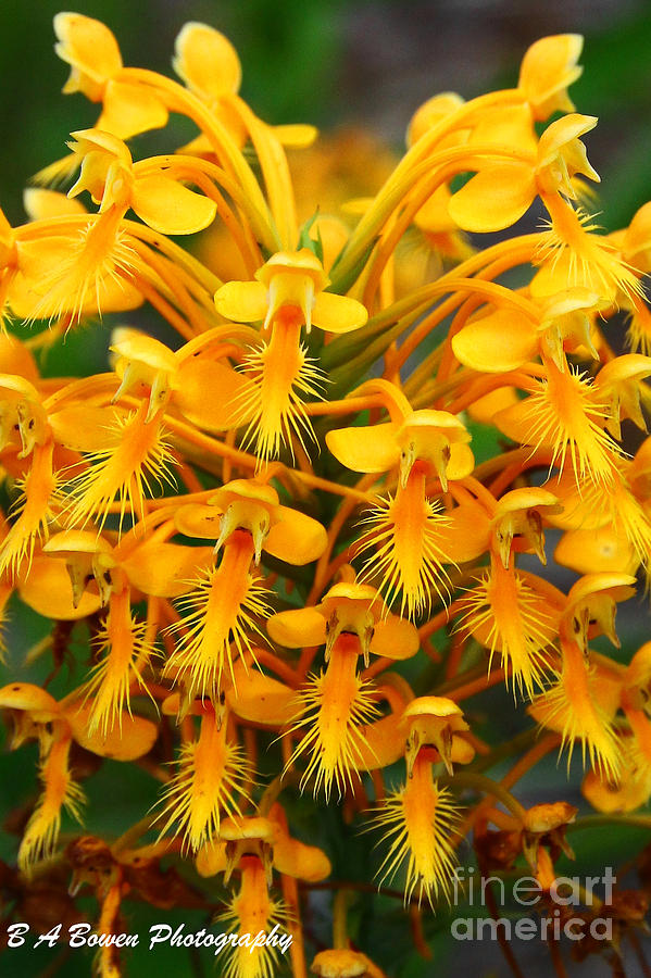 Platanthera Ciliaris Photograph - Orange Fringed Orchis by Barbara Bowen