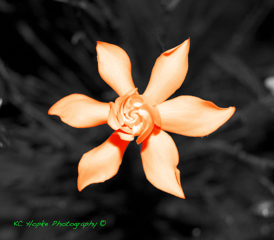 Bonsai Photograph - Orange Gardenia Bonsai by Adam Hopke