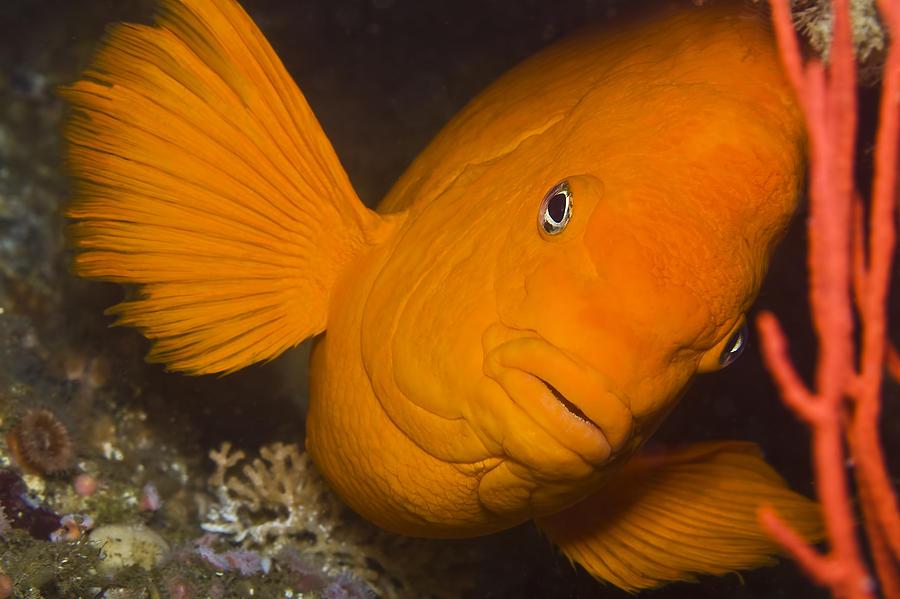Bottom Photograph - Orange Garibaldi by Mike Raabe
