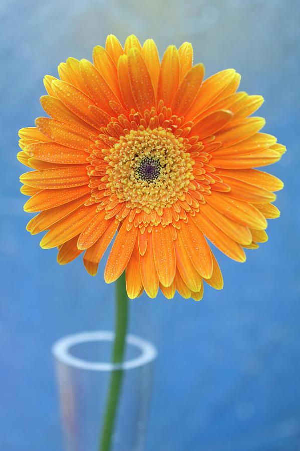Vertical Photograph - Orange Gerbera Daisy  Propped In Glass Vase by Photography by Gordana Adamovic Mladenovic