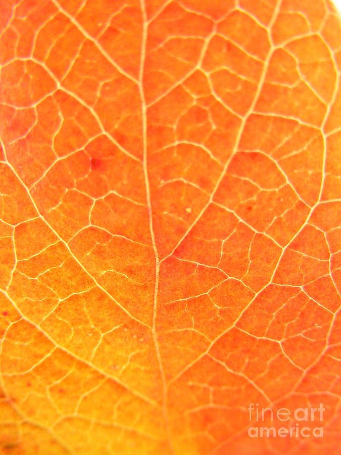 Leaf Photograph - Orange Leaf Abstract by Mariah Stone