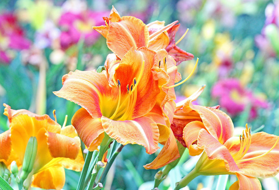 Becky Photograph - Orange Lilies by Becky Lodes