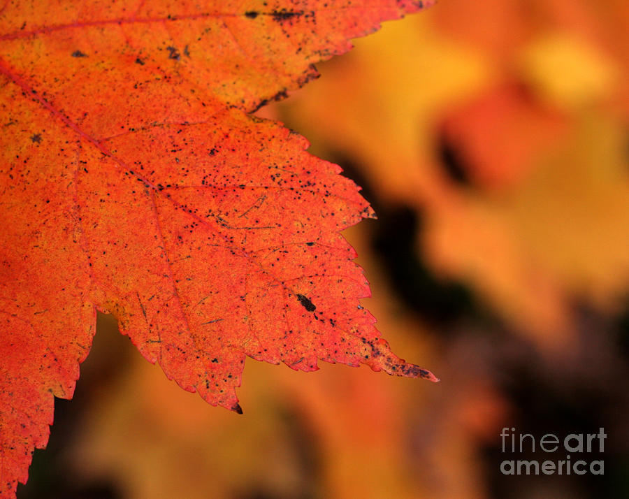 Maple Leaf Photograph - Orange Maple Leaf by Chris Hill