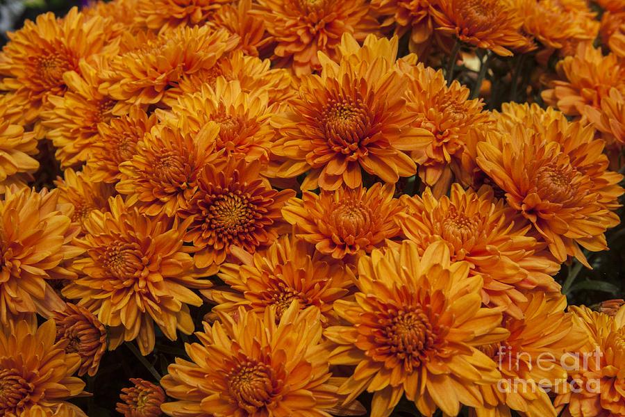 Orange Mums Photograph By Darleen Stry