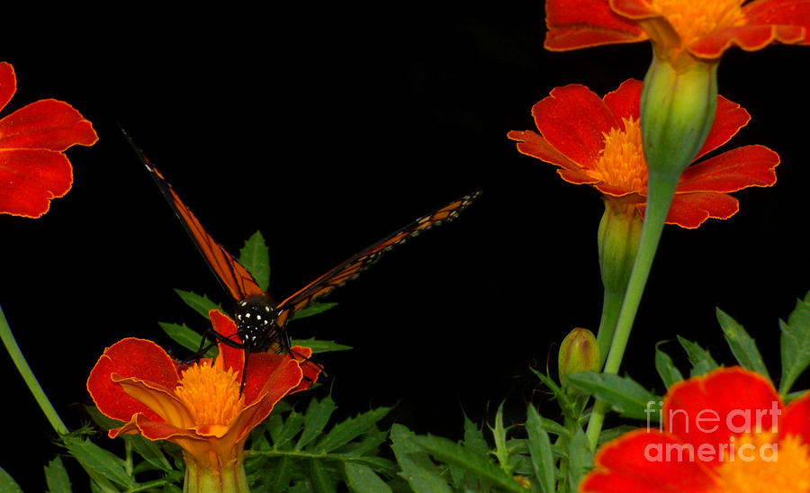 Butterfly Photograph - Orange On Orange by Lydia Holly