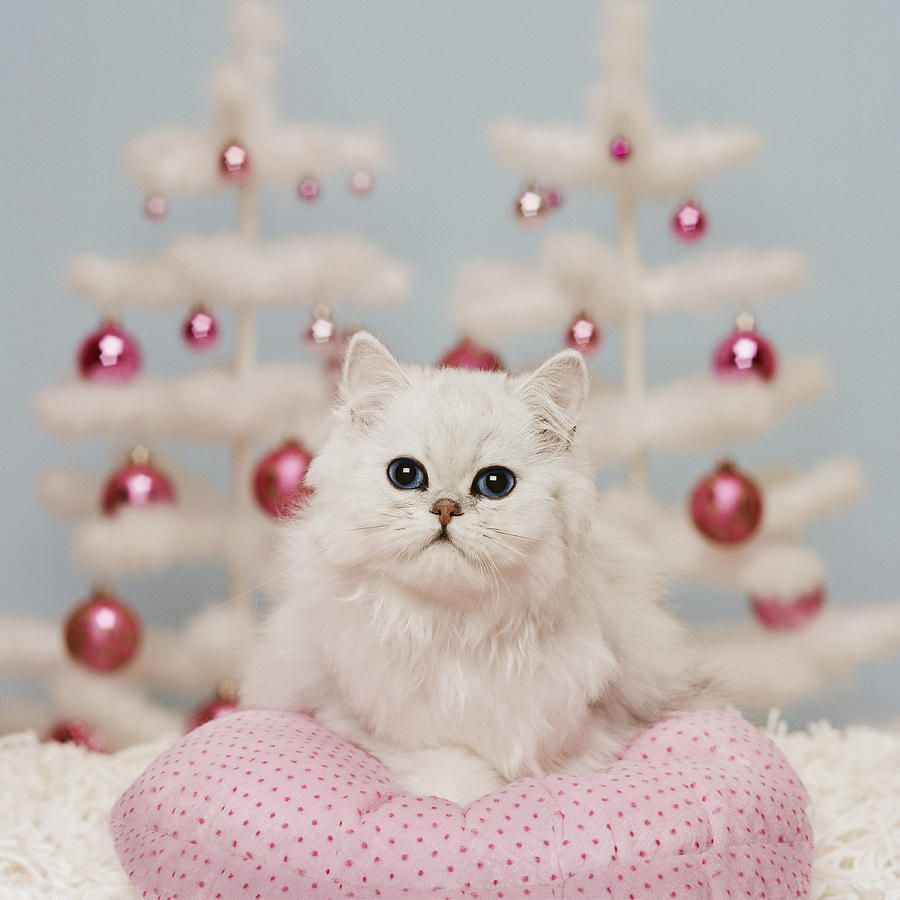 Persian Cats Pictures Wallpapers