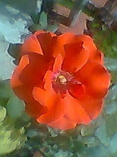 Orange Rose Photograph by Archana Saxena