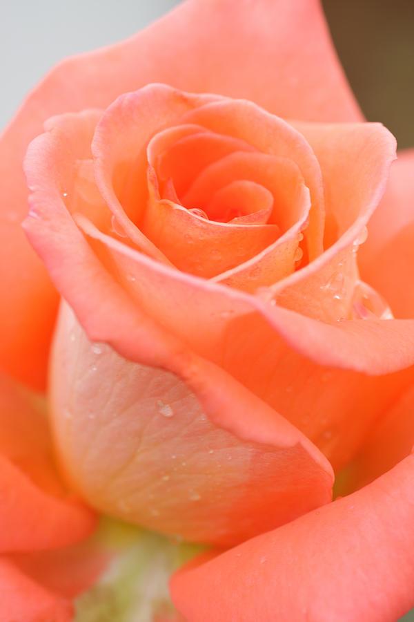Background Photograph - Orange Rose by Atiketta Sangasaeng