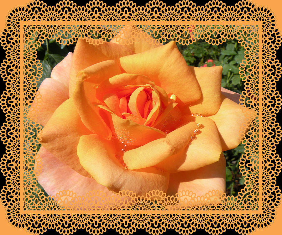 Orange Rose With A Lace Frame Photograph