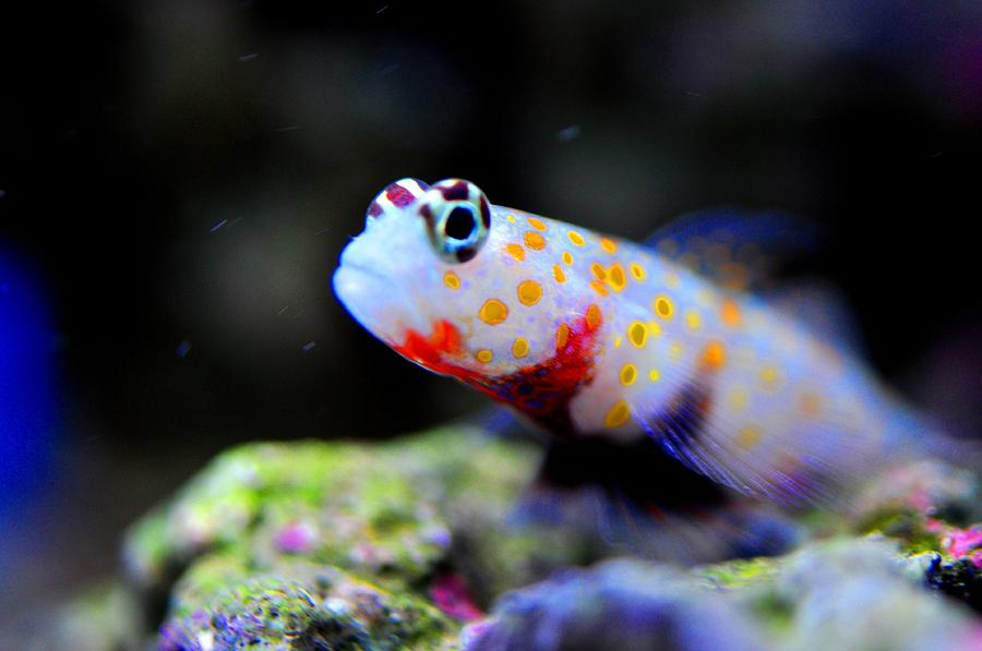 Orange spotted shrimp goby photograph by puzzles shum for Saltwater goby fish
