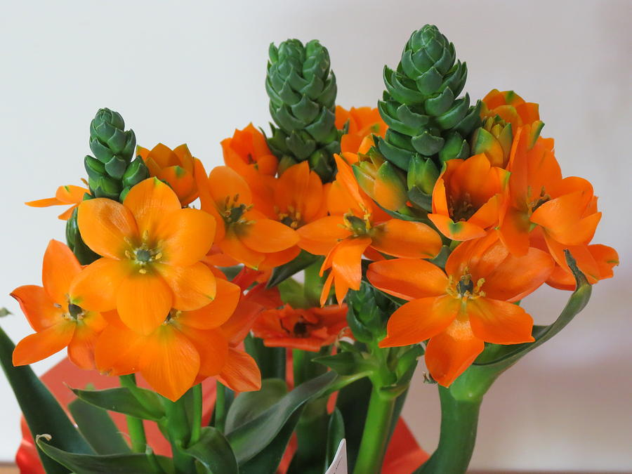 Orange Starflower Photograph By Vijay Sharon Govender